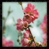 Quince Blossoms III Prints by Sue Schlabach