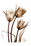 Tulip Arrangement in Brown Posters by Albert Koetsier