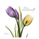 Tulips Love Unconditionally Poster by Albert Koetsier