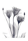 Three Gentian in Black and White Posters by Albert Koetsier