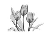 Tulips Three in Black and White Prints by Albert Koetsier