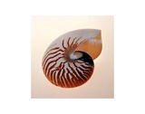 Nautilus Print by Tom Artin