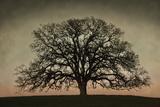 David Winston - Majestic Oak Umění