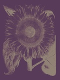 Sunflower, no. 13 Posters by  Botanical Series