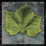 Sycamore Prints by John Golden