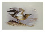 A Buff-Breasted Sandpiper Posters par Archibald Thorburn
