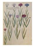 Cornflowers. from 'Camerarius Florilegium' Prints by Joachim Camerarius