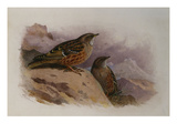 An Alpine Accentor Poster by Archibald Thorburn