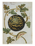 Melon with Speckled Skin, Anguria Turcica. from 'Camerarius Florilegium' Giclee Print by Joachim Camerarius