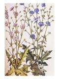 Chicory; Cichorium Intybus. from 'Camerarius Florilegium' Giclee Print by Joachim Camerarius