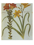 Red Lily with Bulbils, Lilium Buldiferum, and Yellow Day Lily Heerocallis Lilio Asphodelus. from… Print by Joachim Camerarius