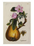 Coignassier (Quince), from 'Parisien Flora (Flora Parisiensis Ou Descriptions Et Figures Des… Prints by Pierre Bulliard