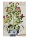 Marvel of Peru, Mirabilis Jalapa, in a Blue and White Pot. from 'Camerarius Florilegium' Giclée-Druck von Joachim Camerarius