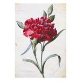 A Dark Red Carnation Reproduction procédé giclée par Pierre-Joseph Redouté