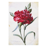 A Dark Red Carnation Poster by Pierre-Joseph Redouté