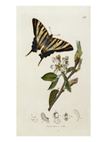 Butterfly and Larvae, from 'British Entomology' Giclee Print by John Curtis