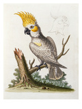 Lefser Cockatoo. from  'A Natural History of Uncommon Birds, and of Some Other Rare and… Poster par George Edwards