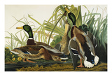 Mallard Duck. Mallard (Anas Platyrhynchos), Plate Ccxxi, from 'The Birds of America' Art by John James Audubon