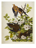 Carolina Turtledove. Mourning Dove, (Zenaida Macroura), Plate Xvii, from 'The Birds of America' Giclee Print by John James Audubon
