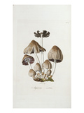 Fungi. Agaricus Ovalus, from 'Flora Londinesis' Prints by William Curtis