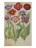 Poppies, Fringed Red and Mauve. from 'Camerarius Florilegium' Giclee Print by Joachim Camerarius