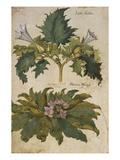 Thornapple; Datura Stramonium and Mandrake; Mandragora Autumnalis. from 'Camerarius Florilegium' Posters by Joachim Camerarius