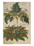 Thornapple; Datura Stramonium and Mandrake; Mandragora Autumnalis. from 'Camerarius Florilegium' Giclee Print by Joachim Camerarius