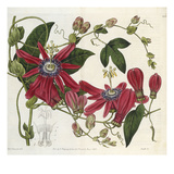 Passionflower, from 'The Botanical Register' Prints by Sydenham Teast and John Edwards and Lyndley