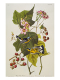 Black & Yellow Magnolia Warbler (Dendroica Magnolia), Plate CXXIII, from 'The Birds of America' Lmina gicle por John James Audubon