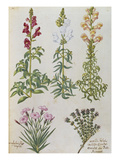 Snapdragons, Small Pink Dianthus and a Thyme. from 'Camerarius Florilegium' Giclee Print by Joachim Camerarius