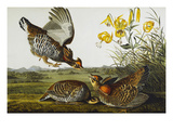 Pinnated Grouse. Greater Prairie Chicken (Tympanuchus Cupido), from 'The Birds of America' Premium Giclee Print by John James Audubon