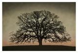 Majestic Oak Kunstdrucke von David Winston