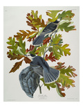 Canada Jay (Corvus Canadensis), Plate Cvii, from 'The Birds of America' Prints by John James Audubon