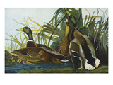 Mallard Duck. from 'The Birds of America' Giclee Print by John James Audubon