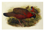Satyr Tragopan (Ceriornis Satyra) Henry Constantine Richter (1821-1902) Giclee Print by Henry Constantine Richter