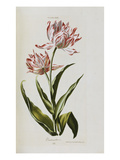 Tulip, from &#39;Hortus Nitidissimis Omnem Per Annum Superbiens Floribus&#39; Giclee Print by Christoph Jacob Trew