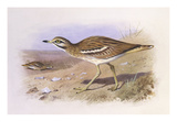 A Stone Curlew Print by Archibald Thorburn