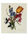 Sweet Pea and Tulip, Sketches of Flowers from Nature Prints by Mary Lawrence
