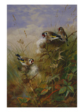 Goldfinches on Thistles Giclee Print by Archibald Thorburn