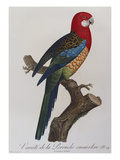 Eastern Rosella (Platycercus Eximius) from 'Histoire Naturelle Des Perroquets, Variete De La… Giclee Print by Francois Levaillant