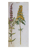 Loosestrife, Lythrum Salicaria and Lysi Machia Punctata. from 'Camerarius Florilegium' Art by Joachim Camerarius