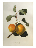 The Kerry Pippin, from 'Pomona Londinensis' Giclee Print by William Hooker