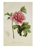 Paeonia Moutan Art by Pierre-Joseph Redoute