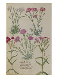 Pinks. from 'Camerarius Florilegium' Prints by Joachim Camerarius