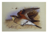 A Common Pratincole Prints by Archibald Thorburn