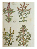 Four Kinds of Basil. from 'Camerarius Florilegium' Prints by Joachim Camerarius