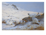 Ptarmigan Reproduction procédé giclée par Archibald Thorburn
