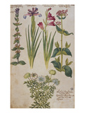 Syrian Sage, an Iris, a Gladiolus and Red Valerian Above a Double- Flowered  Nigella. from… Prints by Joachim Camerarius