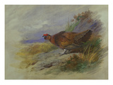 Red Grouse Art par Archibald Thorburn