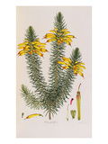 Erica Grandiflora, from Coloured Engravings of Heaths Giclee Print by Henry Andrews